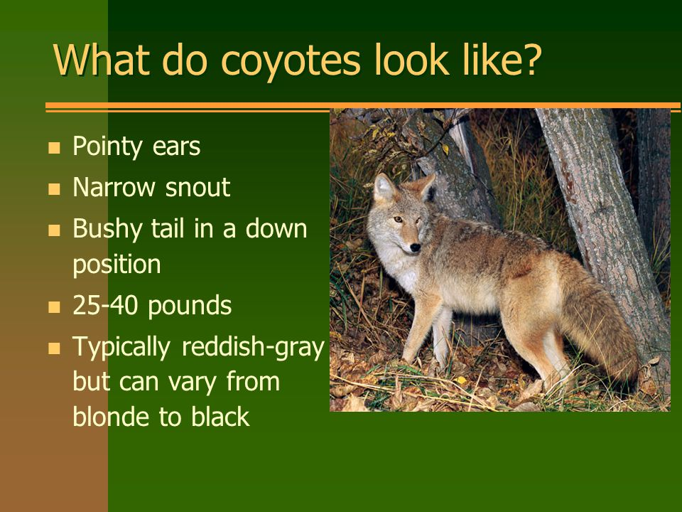 What do coyotes look like.