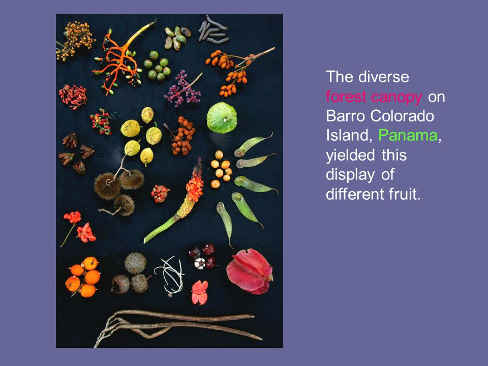 The diverse forest canopy on Barro Colorado Island, Panama, yielded this display of different fruit.