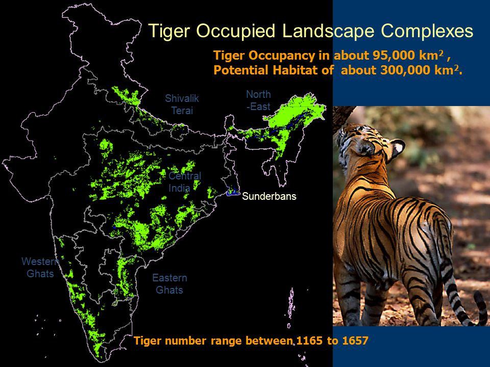 Central India Western Ghats Shivalik Terai Eastern Ghats North -East Tiger Occupied Landscape Complexes Sunderbans Tiger Occupancy in about 95,000 km 2, Potential Habitat of about 300,000 km 2.