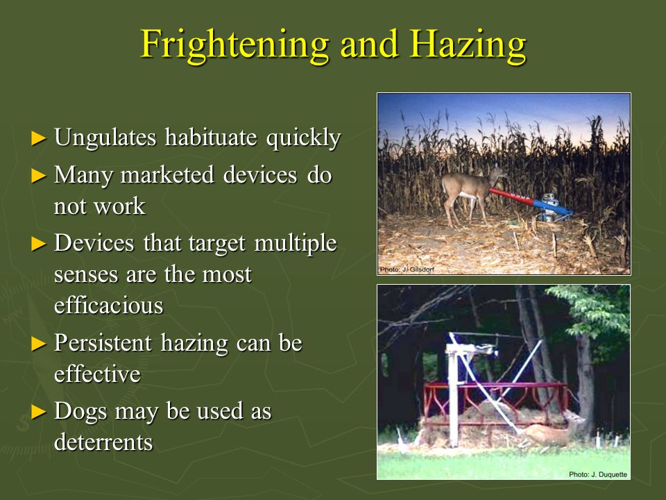 Frightening and Hazing ► Ungulates habituate quickly ► Many marketed devices do not work ► Devices that target multiple senses are the most efficaciou