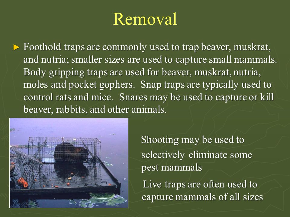 Removal ► Foothold traps are commonly used to trap beaver, muskrat, and nutria; smaller sizes are used to capture small mammals. Body gripping traps a