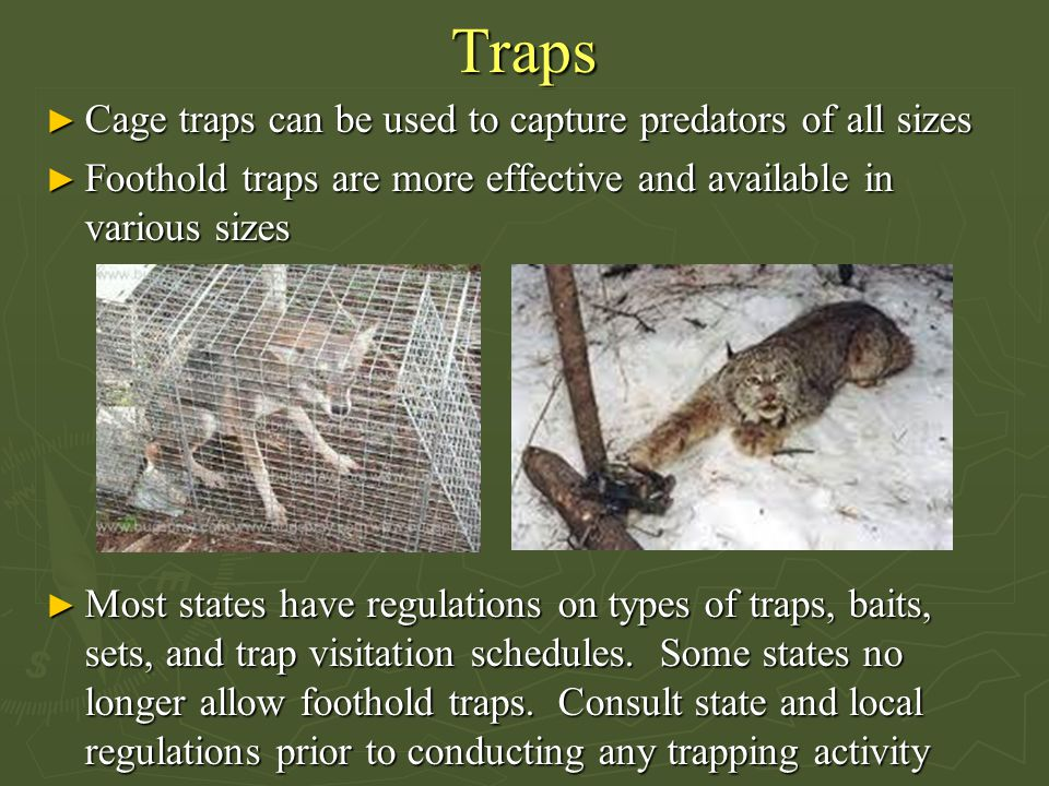 Traps ► Cage traps can be used to capture predators of all sizes ► Foothold traps are more effective and available in various sizes ► Most states have