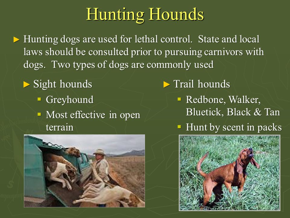Hunting Hounds ► Hunting dogs are used for lethal control.