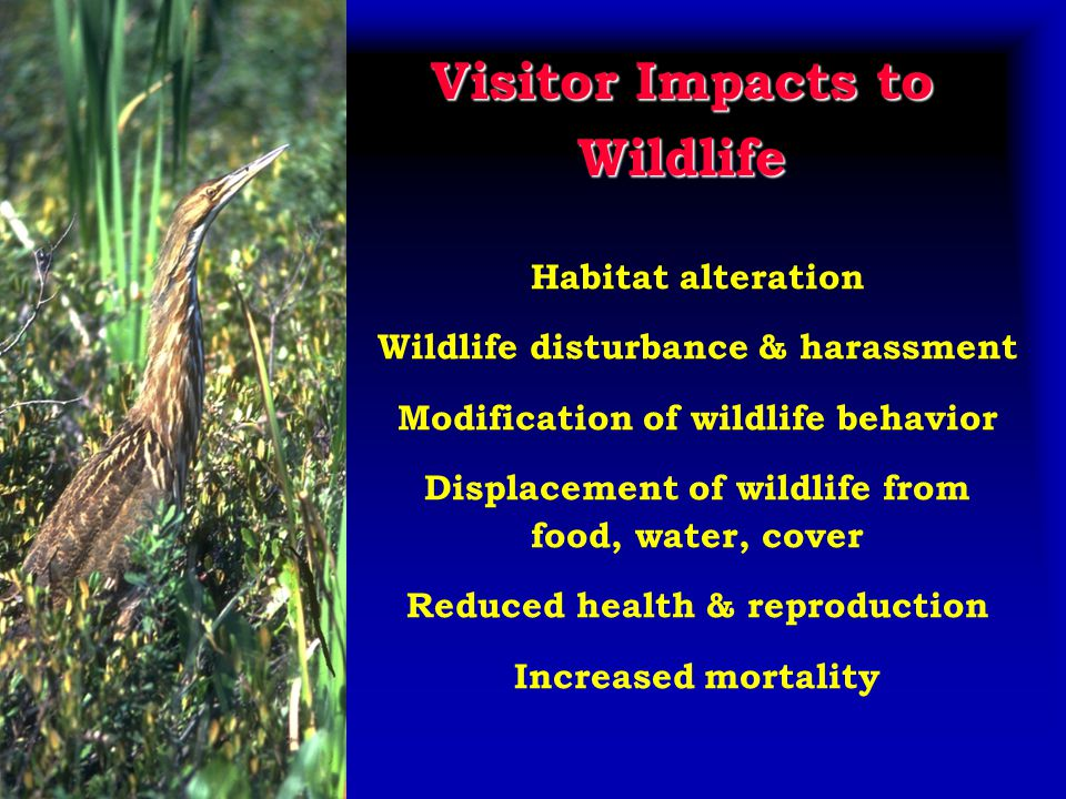 Visitor Impacts to Wildlife Habitat alteration Wildlife disturbance & harassment Modification of wildlife behavior Displacement of wildlife from food, water, cover Reduced health & reproduction Increased mortality