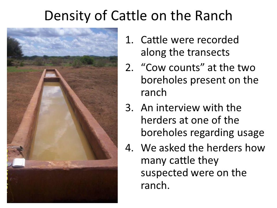 Density of Cattle on the Ranch 1.Cattle were recorded along the transects 2. Cow counts at the two boreholes present on the ranch 3.An interview with the herders at one of the boreholes regarding usage 4.We asked the herders how many cattle they suspected were on the ranch.