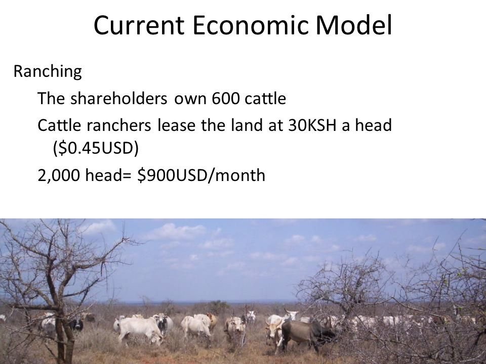 Current Economic Model Ranching The shareholders own 600 cattle Cattle ranchers lease the land at 30KSH a head ($0.45USD) 2,000 head= $900USD/month