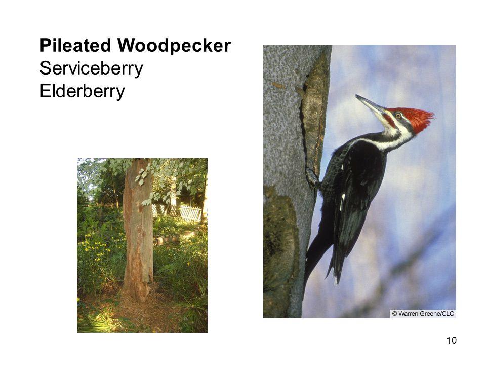 10 Pileated Woodpecker Serviceberry Elderberry
