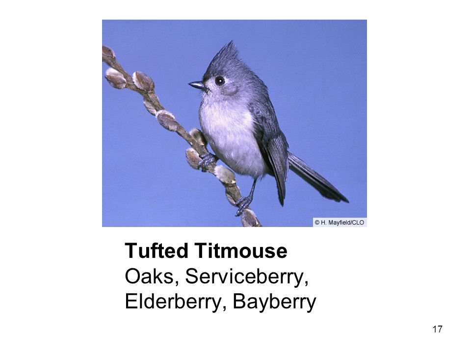 17 Tufted Titmouse Oaks, Serviceberry, Elderberry, Bayberry
