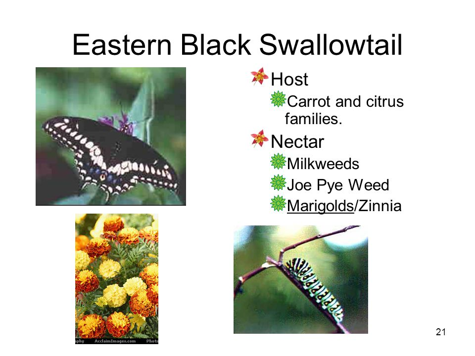 21 Eastern Black Swallowtail Host Carrot and citrus families. Nectar Milkweeds Joe Pye Weed Marigolds/Zinnia