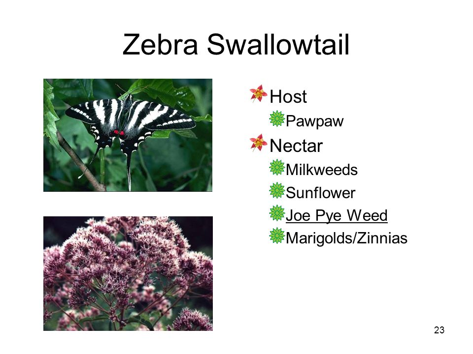 23 Zebra Swallowtail Host Pawpaw Nectar Milkweeds Sunflower Joe Pye Weed Marigolds/Zinnias