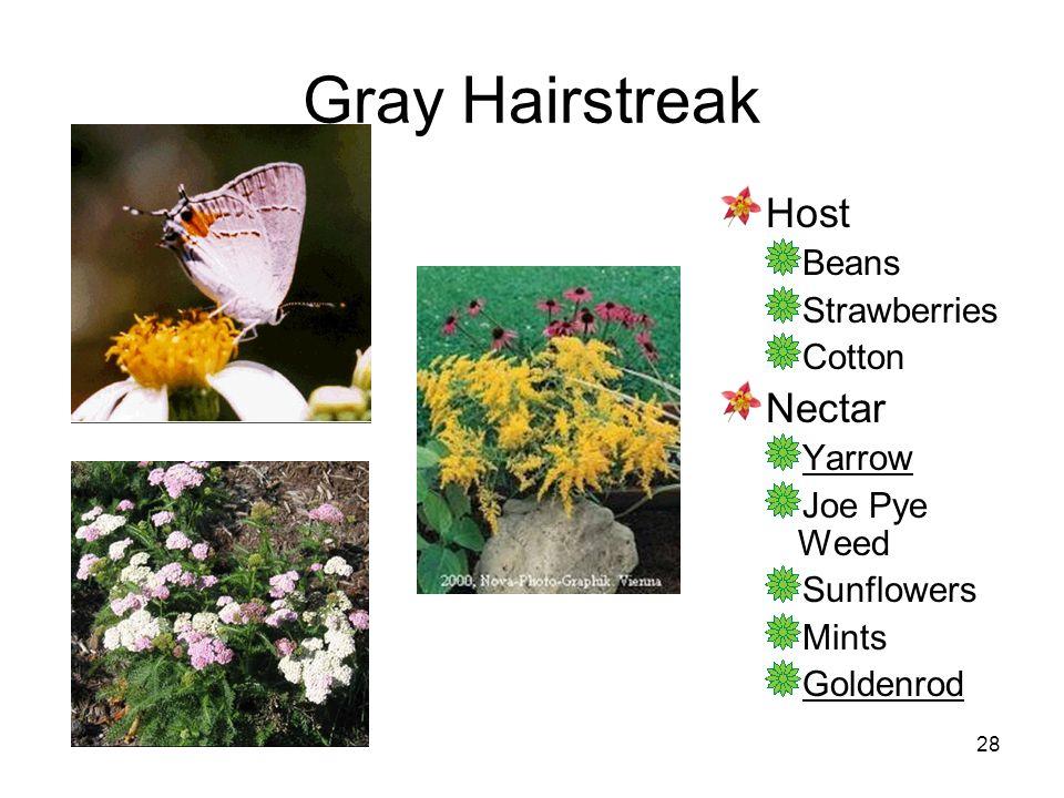 28 Gray Hairstreak Host Beans Strawberries Cotton Nectar Yarrow Joe Pye Weed Sunflowers Mints Goldenrod