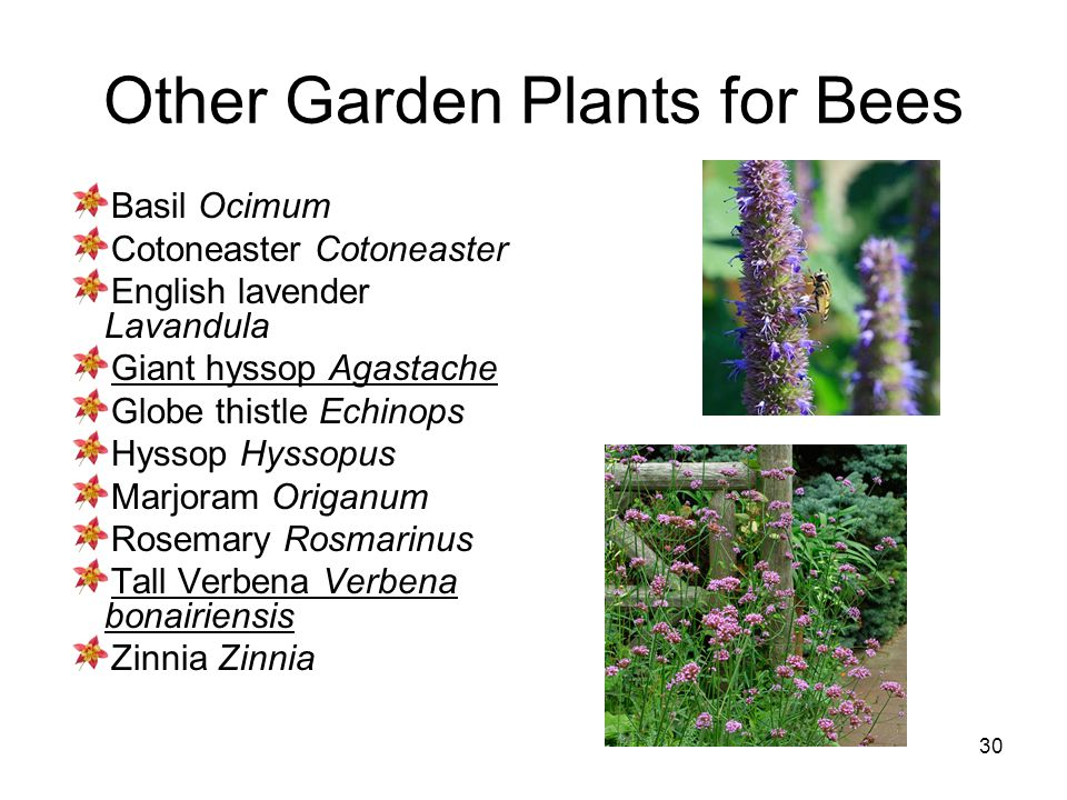 30 Other Garden Plants for Bees Basil Ocimum Cotoneaster English lavender Lavandula Giant hyssop Agastache Globe thistle Echinops Hyssop Hyssopus Marj