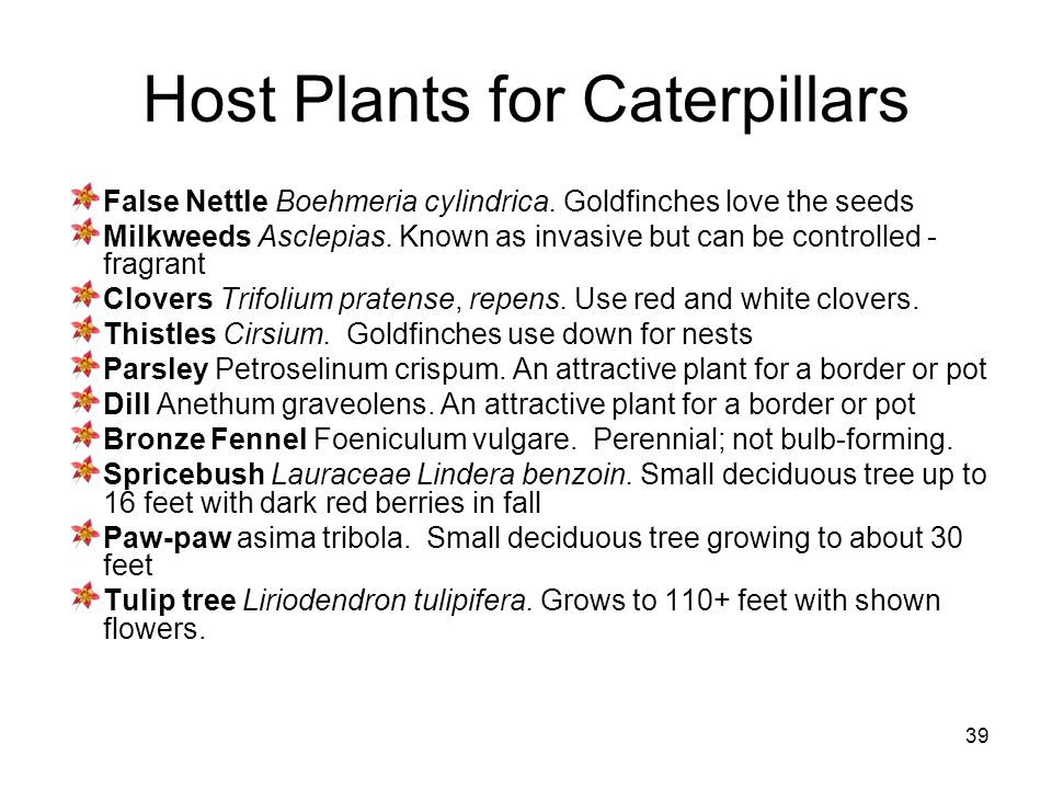 39 Host Plants for Caterpillars False Nettle Boehmeria cylindrica. Goldfinches love the seeds Milkweeds Asclepias. Known as invasive but can be contro