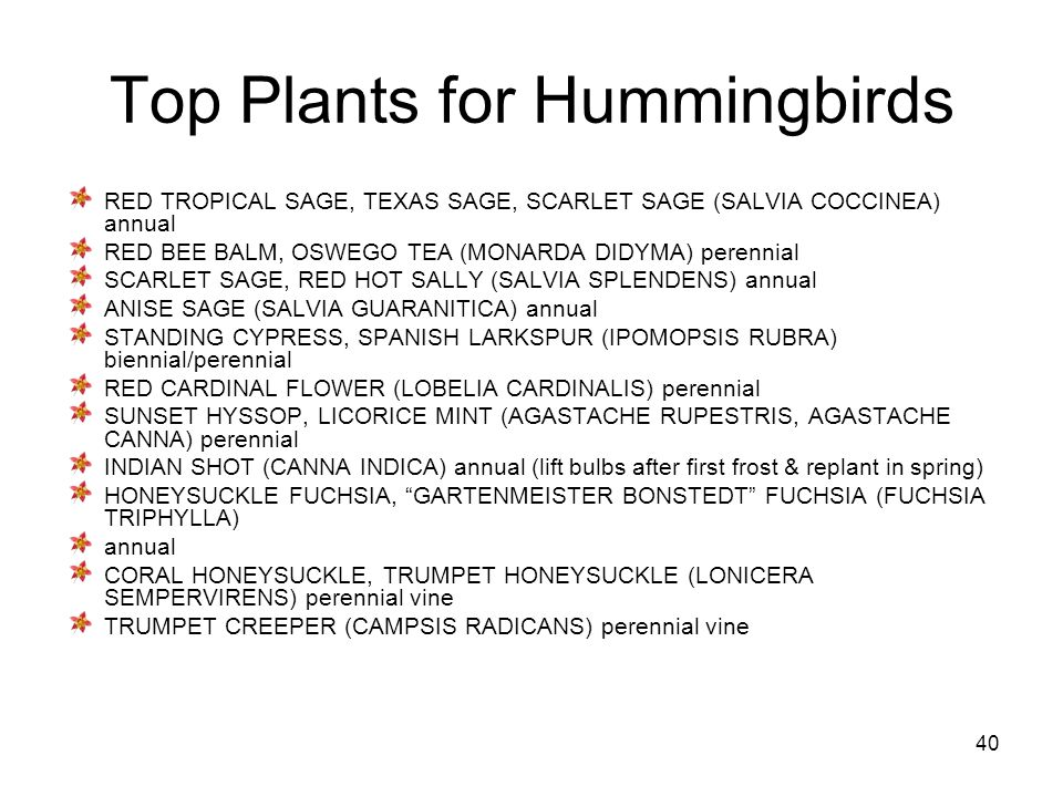 40 Top Plants for Hummingbirds RED TROPICAL SAGE, TEXAS SAGE, SCARLET SAGE (SALVIA COCCINEA) annual RED BEE BALM, OSWEGO TEA (MONARDA DIDYMA) perennial SCARLET SAGE, RED HOT SALLY (SALVIA SPLENDENS) annual ANISE SAGE (SALVIA GUARANITICA) annual STANDING CYPRESS, SPANISH LARKSPUR (IPOMOPSIS RUBRA) biennial/perennial RED CARDINAL FLOWER (LOBELIA CARDINALIS) perennial SUNSET HYSSOP, LICORICE MINT (AGASTACHE RUPESTRIS, AGASTACHE CANNA) perennial INDIAN SHOT (CANNA INDICA) annual (lift bulbs after first frost & replant in spring) HONEYSUCKLE FUCHSIA, GARTENMEISTER BONSTEDT FUCHSIA (FUCHSIA TRIPHYLLA) annual CORAL HONEYSUCKLE, TRUMPET HONEYSUCKLE (LONICERA SEMPERVIRENS) perennial vine TRUMPET CREEPER (CAMPSIS RADICANS) perennial vine