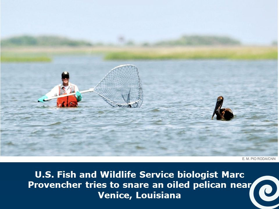 U.S. Fish and Wildlife Service biologist Marc Provencher tries to snare an oiled pelican near Venice, Louisiana