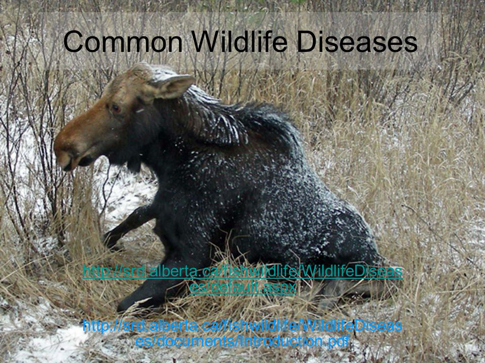 Common Wildlife Diseases http://srd.alberta.ca/fishwildlife/WildlifeDiseas es/default.aspx http://srd.alberta.ca/fishwildlife/WildlifeDiseas es/documents/Introduction.pdf