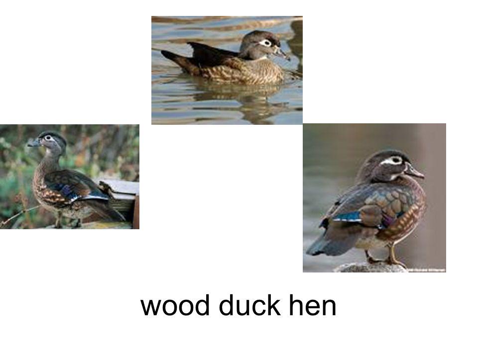 wood duck hen