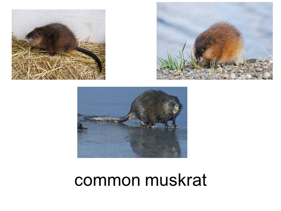 common muskrat