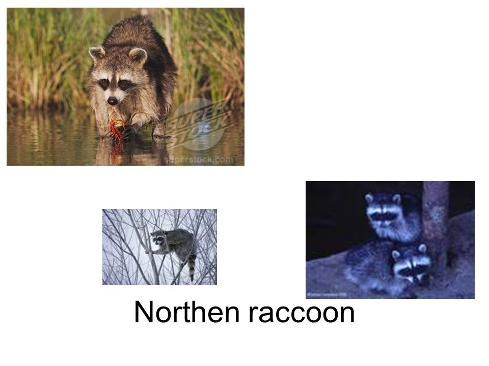 Northen raccoon