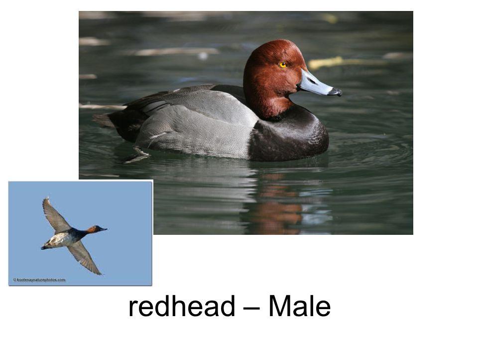 redhead – Male