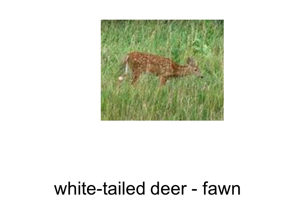 white-tailed deer - fawn