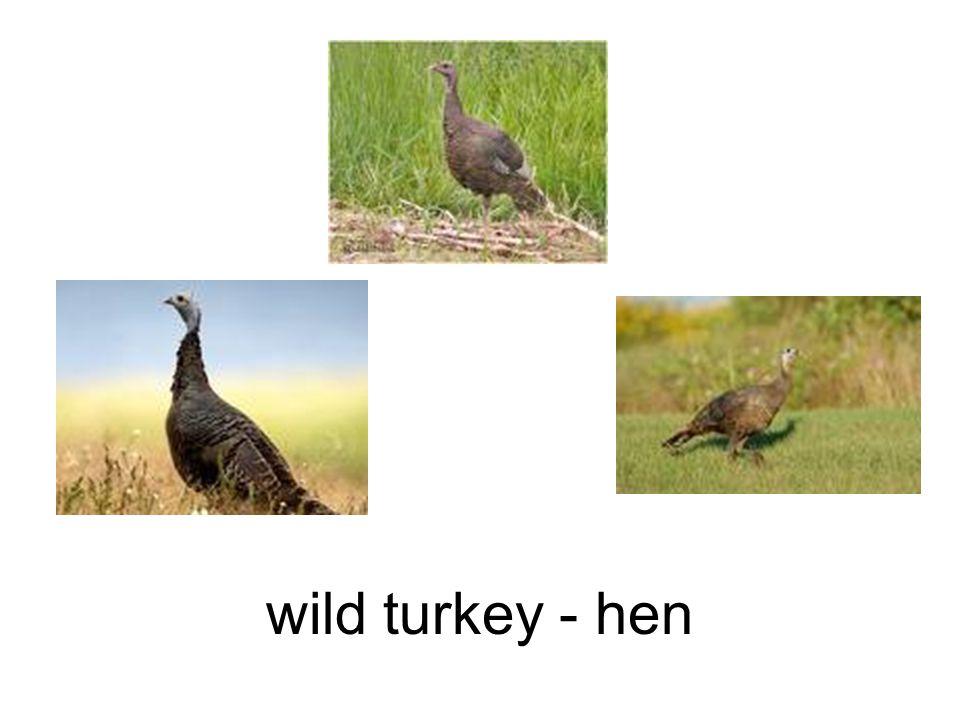 wild turkey - hen