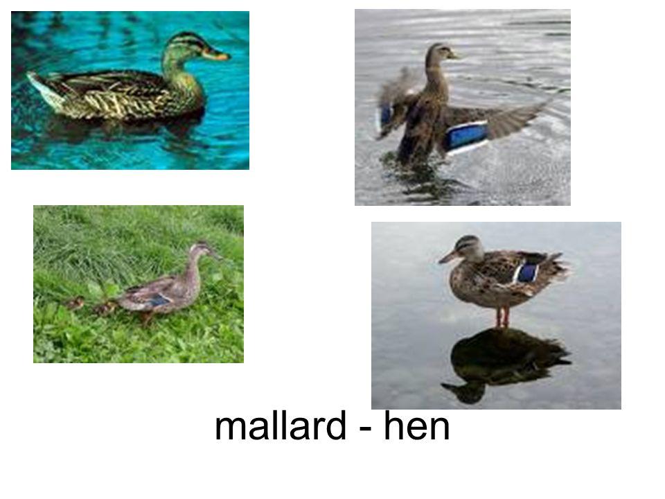 mallard - hen