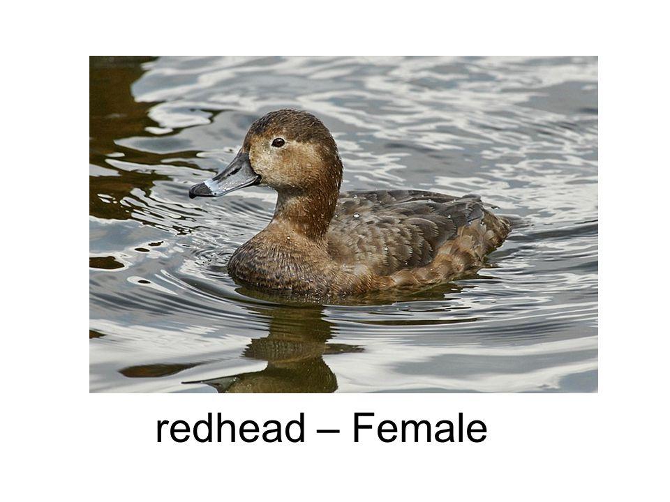 redhead – Female