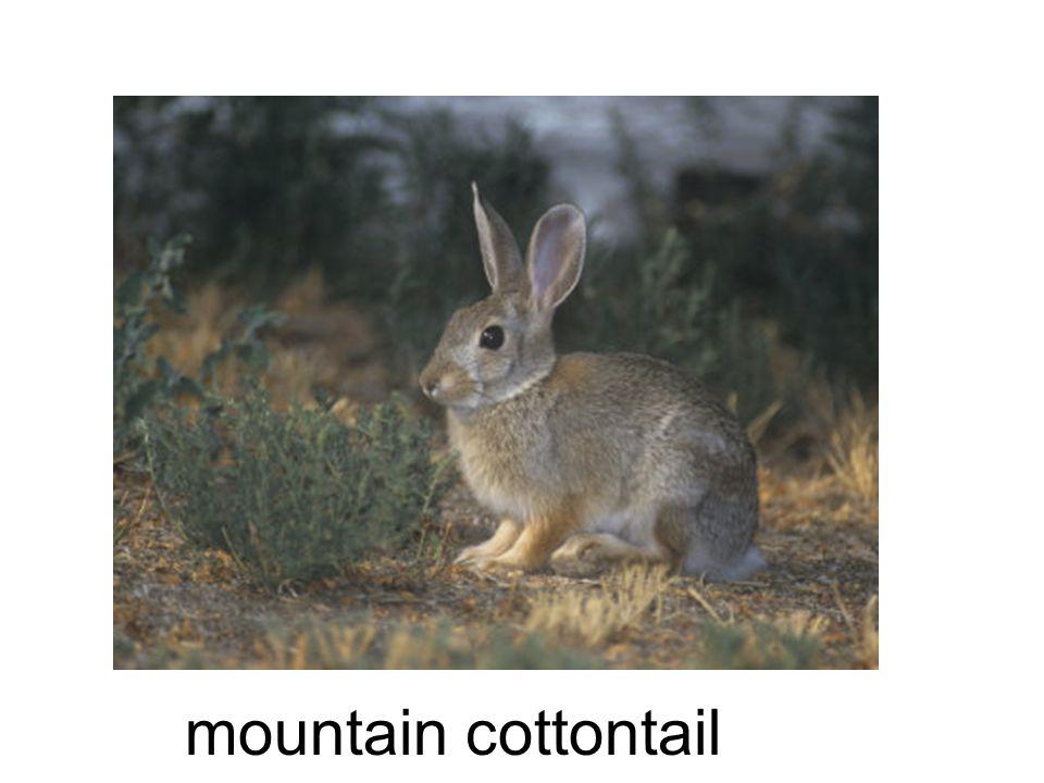 mountain cottontail