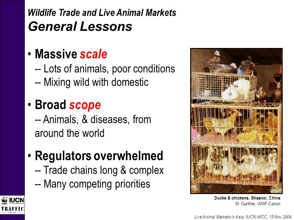 Wildlife Trade and Live Animal Markets General Lessons Massive scale -- Lots of animals, poor conditions -- Mixing wild with domestic Broad scope -- Animals, & diseases, from around the world Regulators overwhelmed -- Trade chains long & complex -- Many competing priorities Live Animal Markets in Asia, IUCN-WCC, 15 Nov 2004 Ducks & chickens, Shaanxi, China.