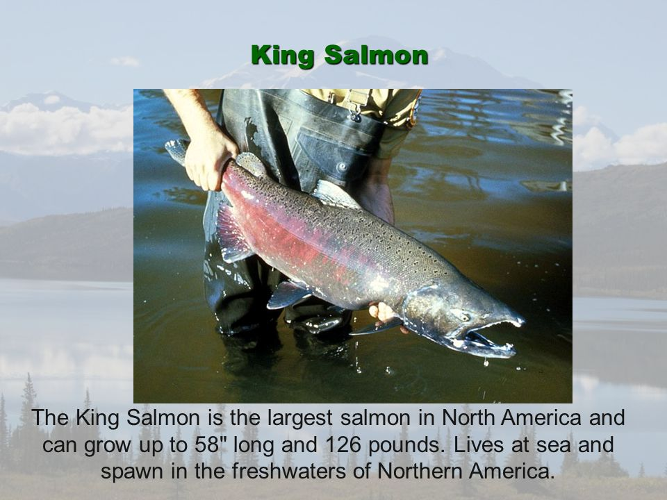 King Salmon The King Salmon is the largest salmon in North America and can grow up to 58