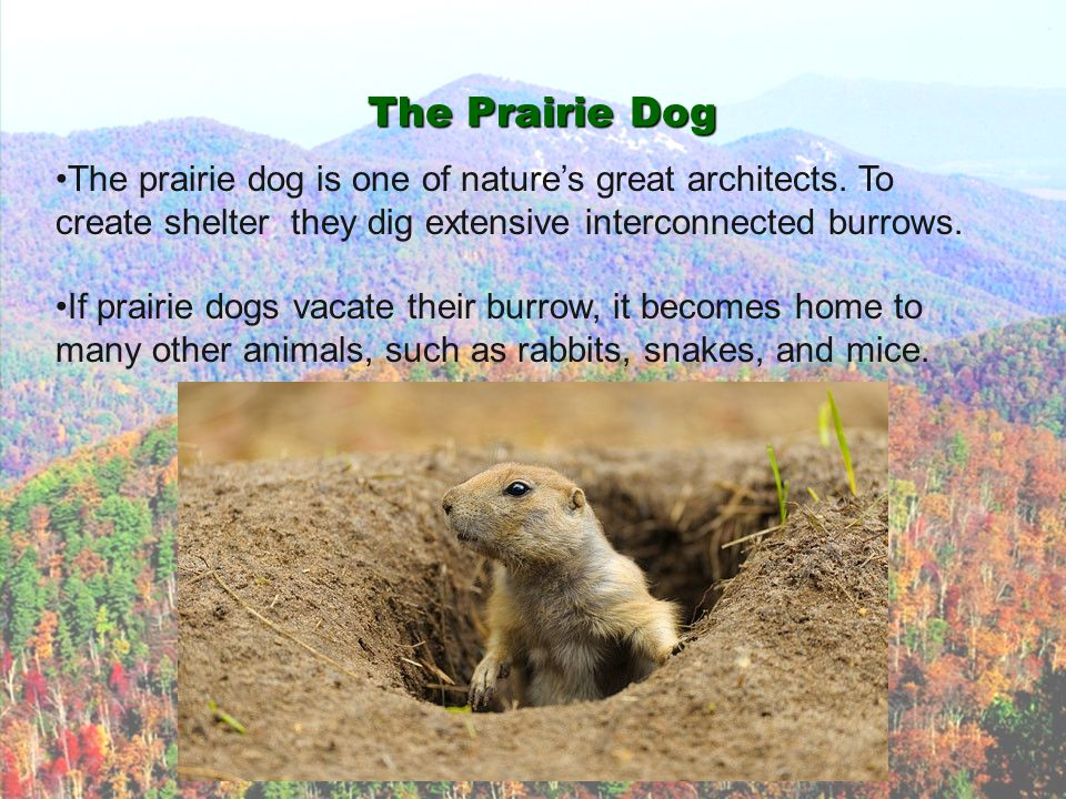 The Prairie Dog The prairie dog is one of nature's great architects. To create shelter they dig extensive interconnected burrows. If prairie dogs vaca