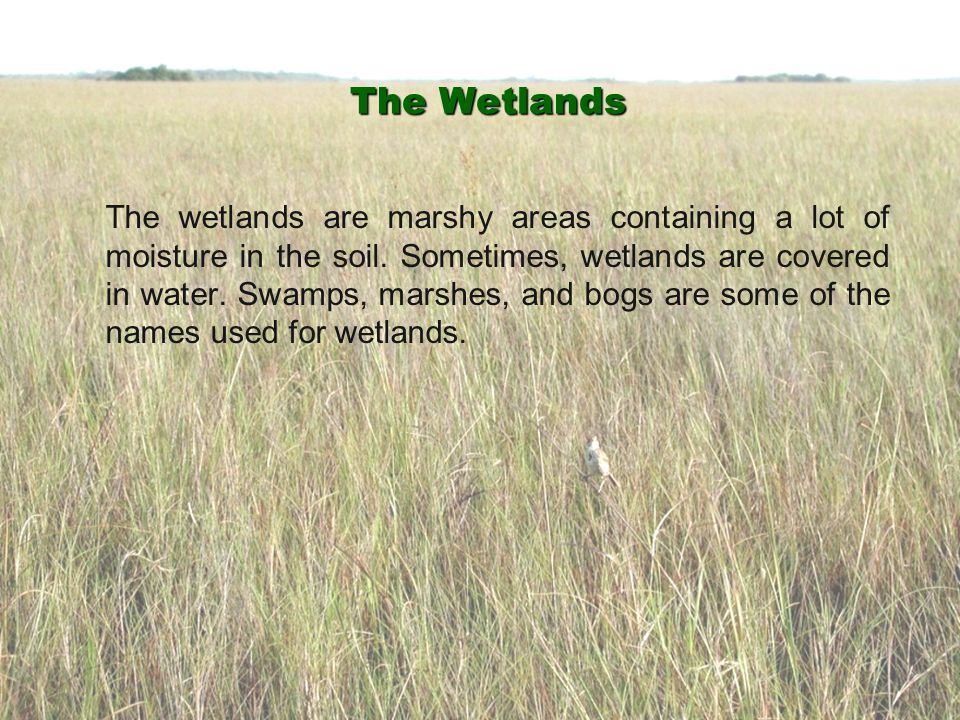 The Wetlands The wetlands are marshy areas containing a lot of moisture in the soil. Sometimes, wetlands are covered in water. Swamps, marshes, and bo