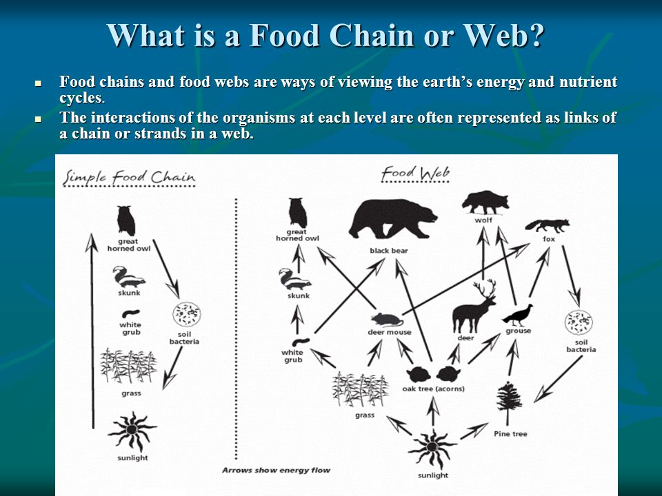 What is a Food Chain or Web.