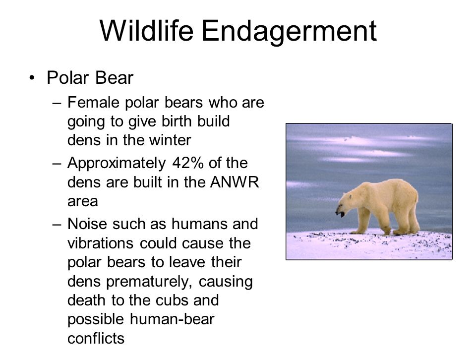 Wildlife Endagerment Polar Bear –Female polar bears who are going to give birth build dens in the winter –Approximately 42% of the dens are built in the ANWR area –Noise such as humans and vibrations could cause the polar bears to leave their dens prematurely, causing death to the cubs and possible human-bear conflicts