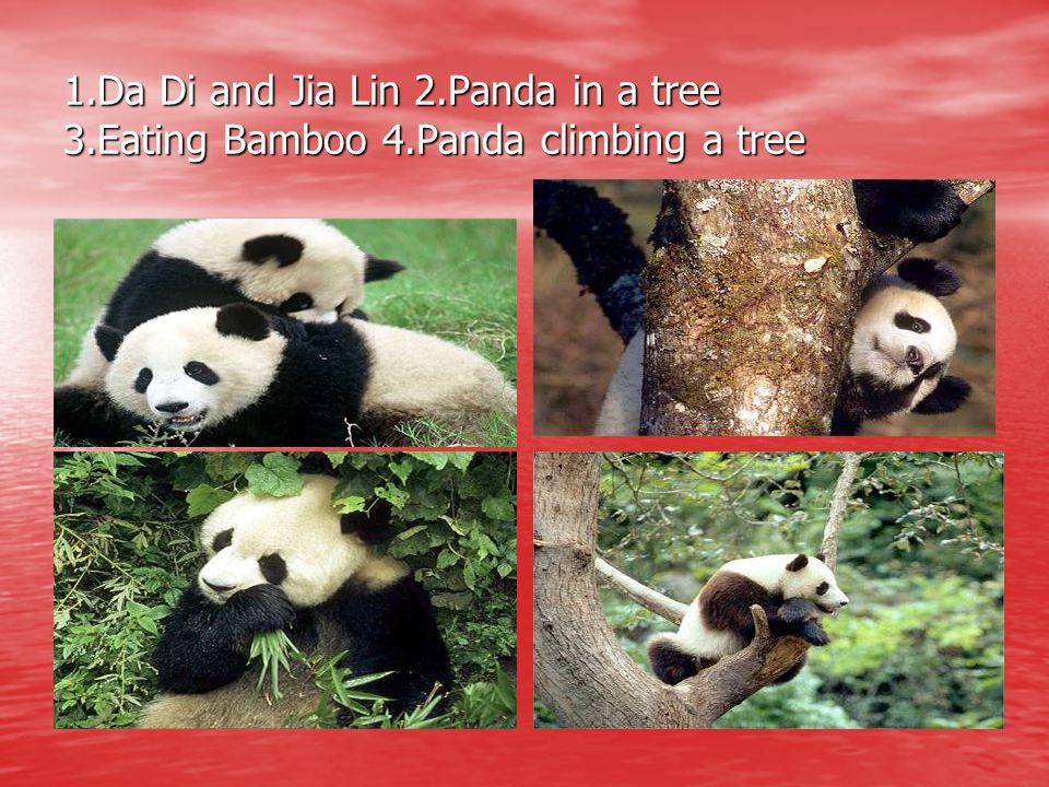 1.Da Di and Jia Lin 2.Panda in a tree 3.Eating Bamboo 4.Panda climbing a tree