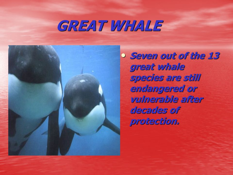 GREAT WHALE GREAT WHALE Seven out of the 13 great whale species are still endangered or vulnerable after decades of protection. Seven out of the 13 gr