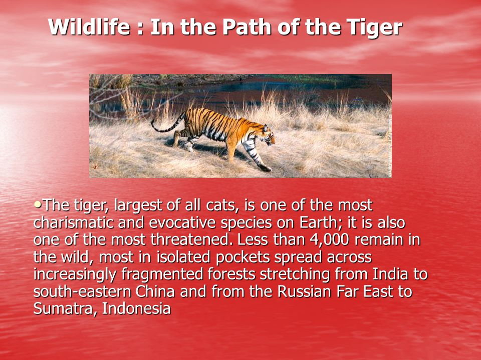 Wildlife : In the Path of the Tiger Wildlife : In the Path of the Tiger The tiger, largest of all cats, is one of the most charismatic and evocative s