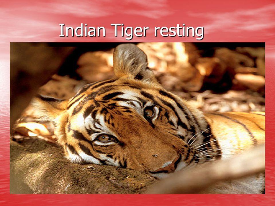 Indian Tiger resting Indian Tiger resting