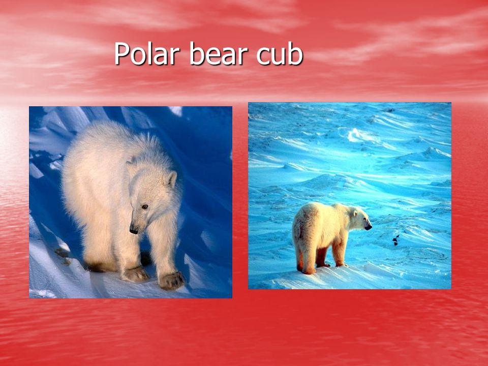 Polar bear cub Polar bear cub