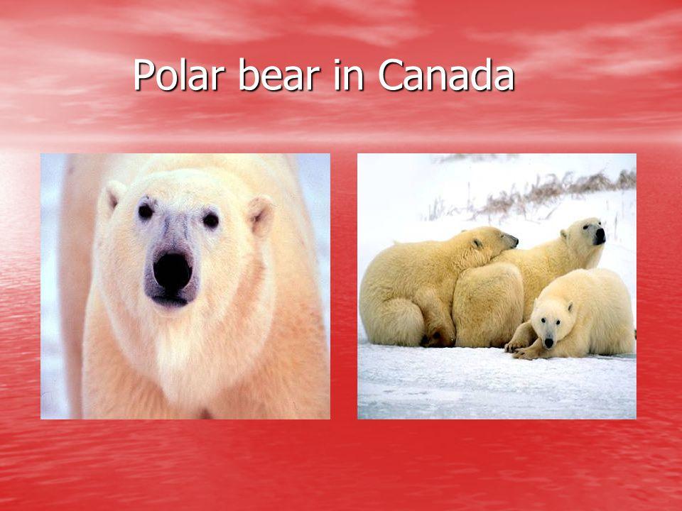 Polar bear in Canada Polar bear in Canada