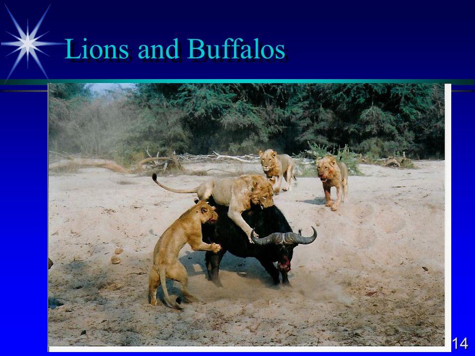 14 Lions and Buffalos