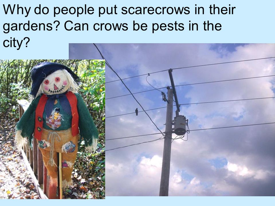 Why do people put scarecrows in their gardens? Can crows be pests in the city?
