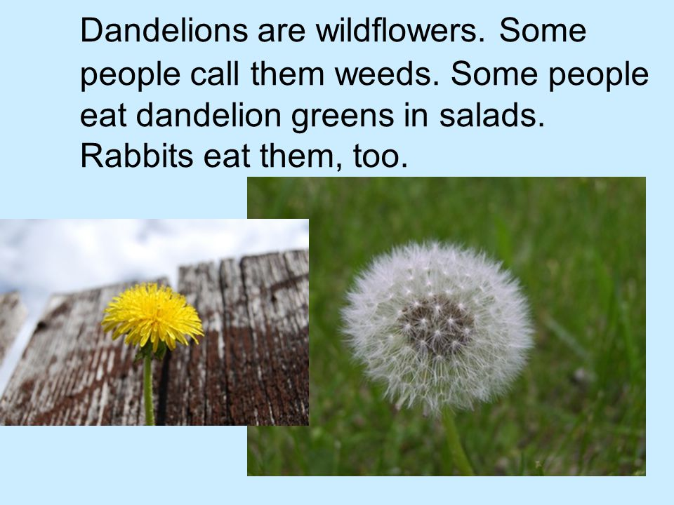 Dandelions are wildflowers. Some people call them weeds. Some people eat dandelion greens in salads. Rabbits eat them, too.