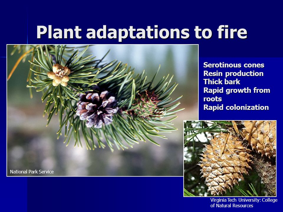 Plant adaptations to fire Serotinous cones Resin production Thick bark Rapid growth from roots Rapid colonization Virginia Tech University: College of Natural Resources National Park Service