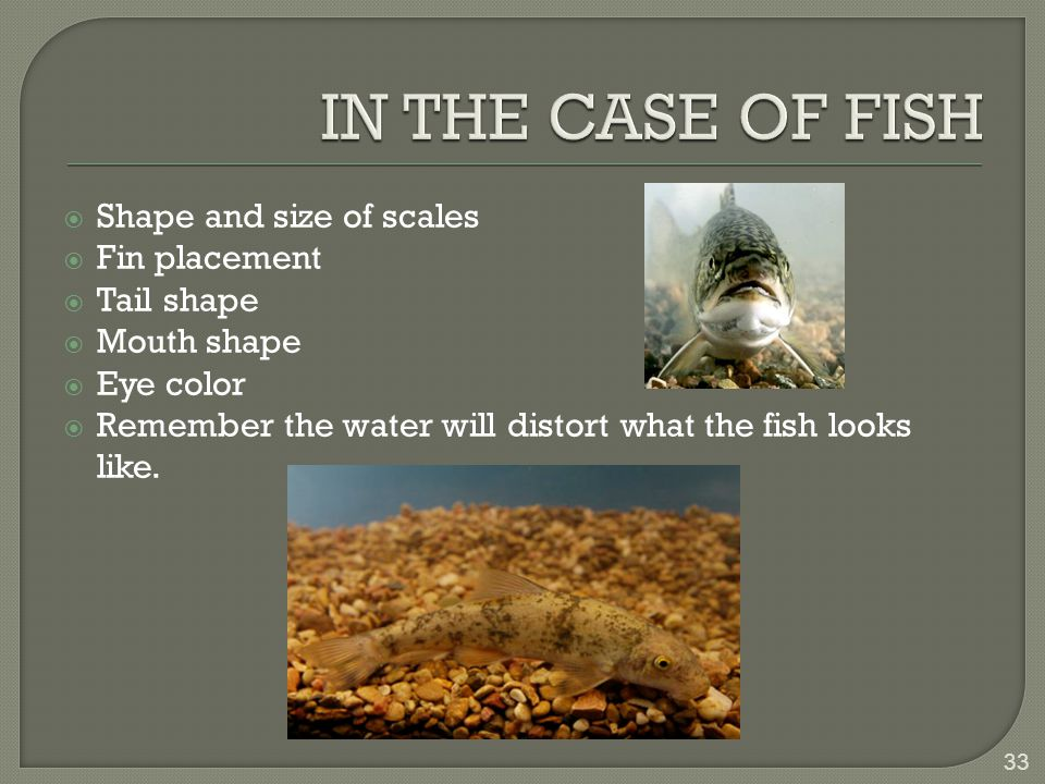  Shape and size of scales  Fin placement  Tail shape  Mouth shape  Eye color  Remember the water will distort what the fish looks like.
