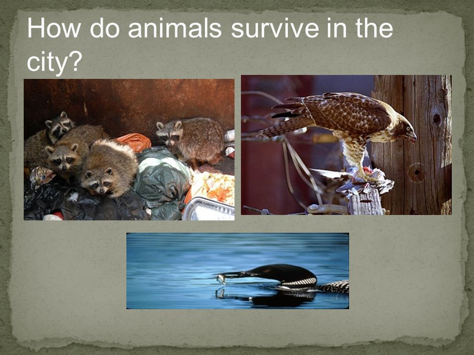 How do animals survive in the city?