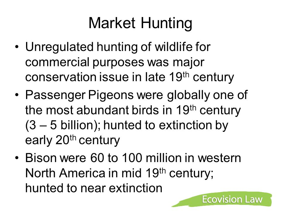 Market Hunting Unregulated hunting of wildlife for commercial purposes was major conservation issue in late 19 th century Passenger Pigeons were globa
