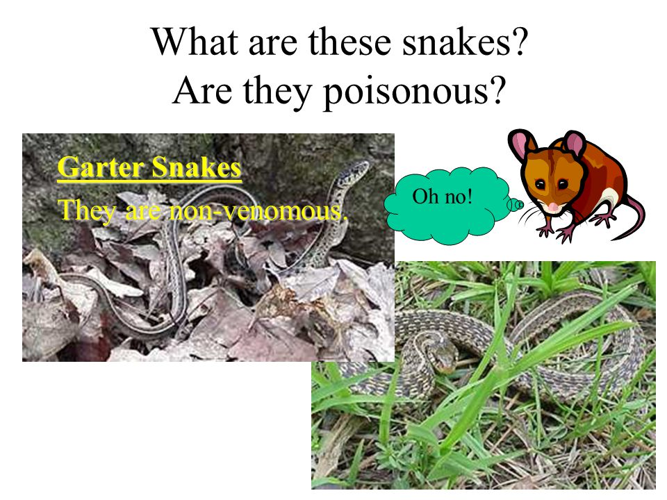 More Snake Myths A snake's fangs can be removed. All snakes lay eggs.