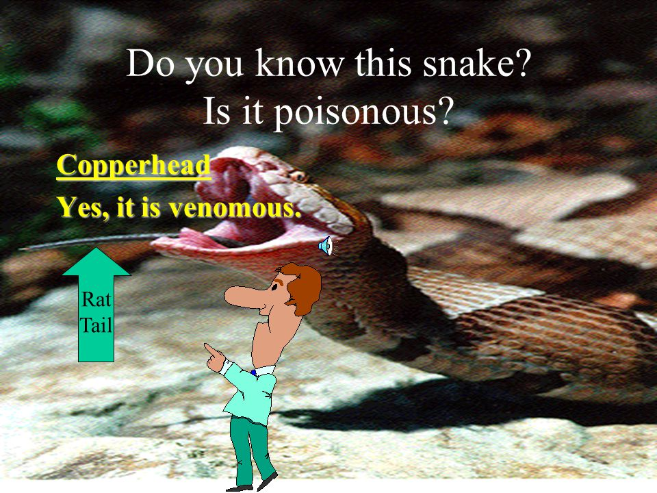 This is how you can tell the difference between venomous and nonvenomous snakes.